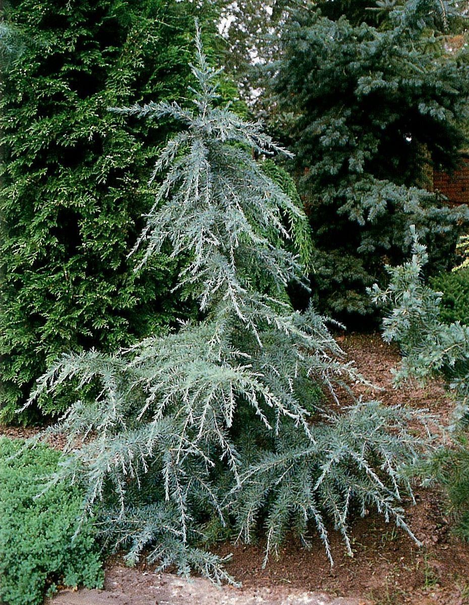 Deodar Cedar Tree Varieties ~ Cedrus deodara karl fuchs