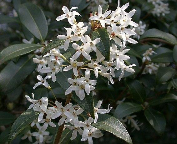 Forum piante per siepe - Osmanthus siepe ...