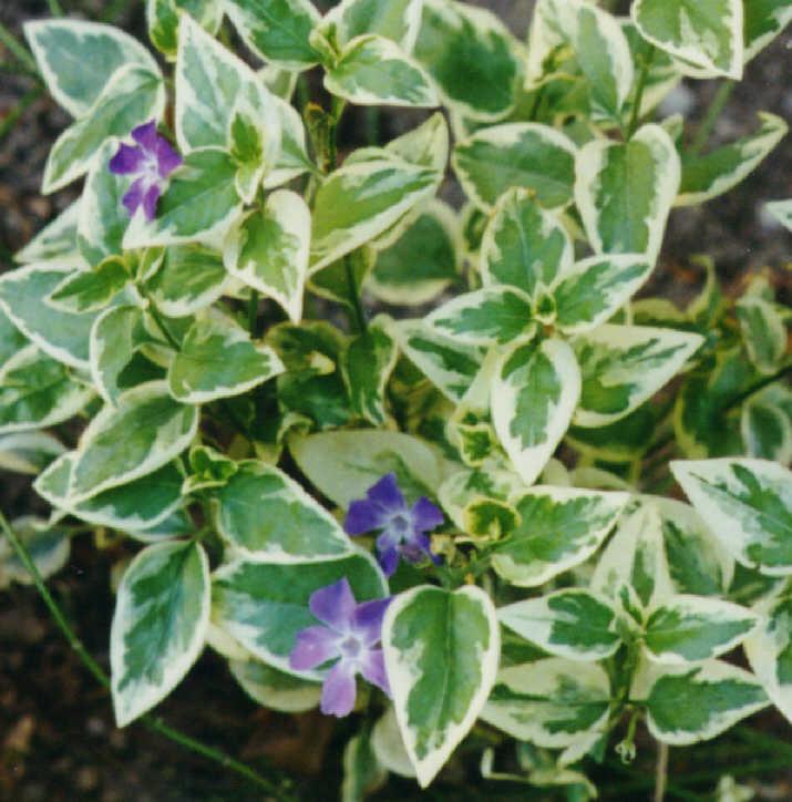 Pro faber - Vinca minor variegata ...