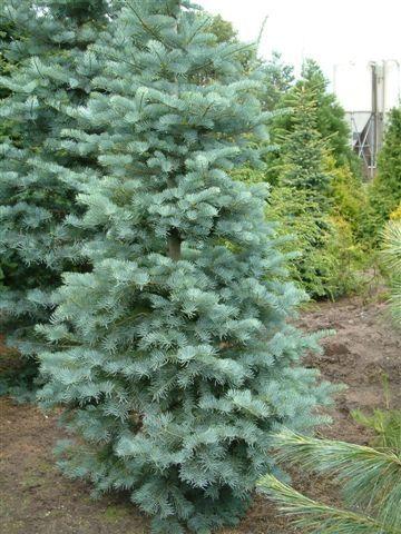 Abies Concolor Fastigiata Alfred Hansen Progressive Plants