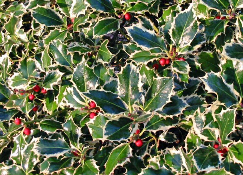 Ilex Aquifolium Aurea Marginata
