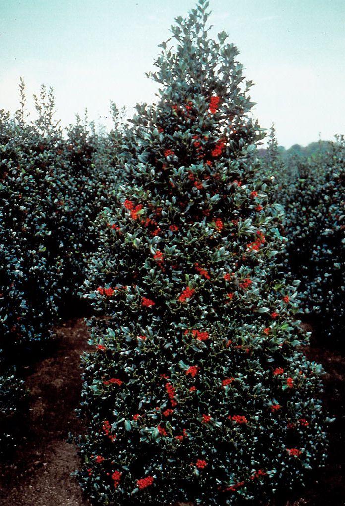 Ilex Aquifolium Limsi